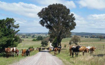 steers3