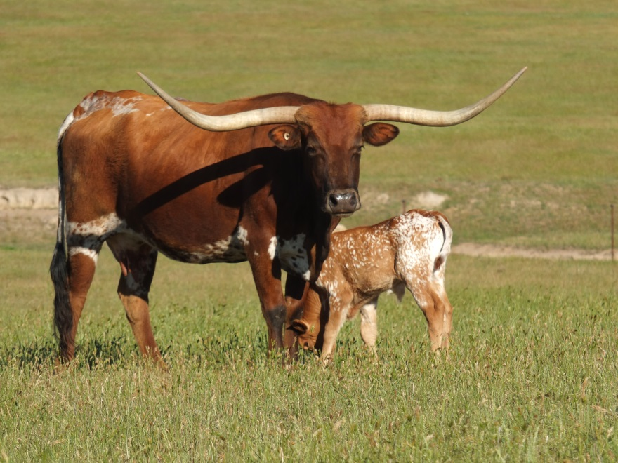 Purebred Texas Longhorn cow standing in paddock